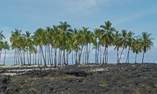 Palm Trees On Lava Bed Stock Photography