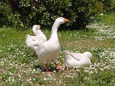 Free Norwegian White Geese Stock Photo - 5731880