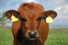 Baby Cow Looking Into Camera Stock Images