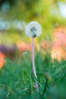 Free Dandelion Closeup Stock Images - 5733304