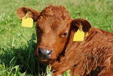 Free Nice Baby Cow Close Up Stock Image - 5733431