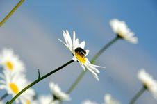 Free Daisy Flowerson Sky Background Royalty Free Stock Photos - 5734328