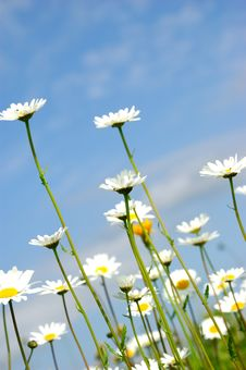 Free Daisy Flowerson Sky Background Stock Photos - 5734483
