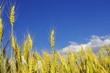 Free Wheat Stock Photos - 5734503