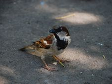Sparrow On Asphalt Royalty Free Stock Photography