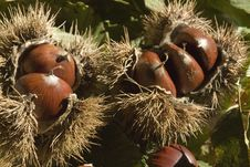Free Chestnuts With Husks Royalty Free Stock Image - 5734546