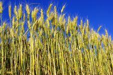 Free Wheat Stock Photos - 5734553