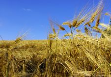 Free Wheat Stock Images - 5734564
