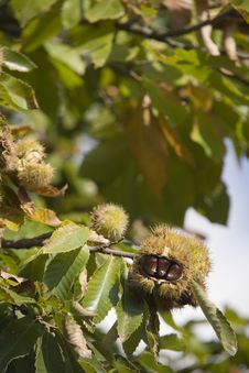 Free Chestnuts With Husk Stock Photography - 5734722