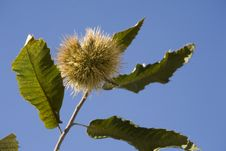 Free Chestnuts With Husk Royalty Free Stock Image - 5735036