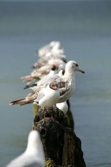 Free Sea Gulls Royalty Free Stock Photography - 5735037
