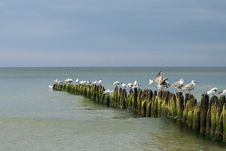 Free Sea Gulls Royalty Free Stock Images - 5735039