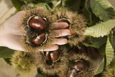 Free Chestnuts On A Hand Stock Photo - 5735370