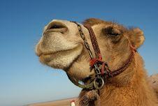 Free Camel Portrait Stock Images - 5735524