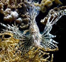 Free Lion Fish 6 Stock Photos - 5736593
