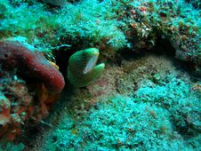 Free Goldentail Moray Eel Royalty Free Stock Image - 5737146