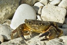 Free Crab On The Stone Beach Royalty Free Stock Image - 5737206