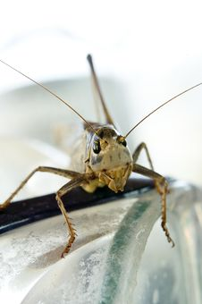 Free Locust Facing Camera Royalty Free Stock Images - 5737209
