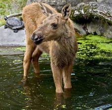Free Elk 1 Royalty Free Stock Image - 5737926