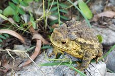 Free Toad Stock Image - 5738491