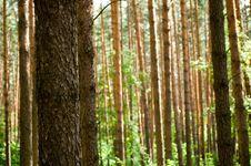 Free Pines Stock Image - 5738571