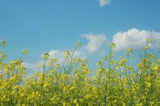 Free Rapeseed Stock Photos - 5738773