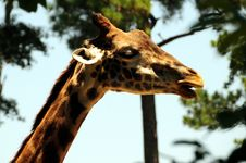 Free Funny Giraffe Royalty Free Stock Photography - 5738787