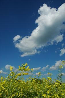 Free Rapeseed Stock Photo - 5738810