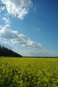 Free Rapeseed Stock Photos - 5738943