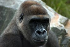 Free Gorilla Portrait Stock Image - 5739081