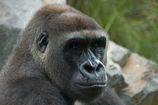 Free Gorilla Portrait Royalty Free Stock Photography - 5739097