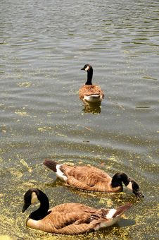 Free Canadian Goose Royalty Free Stock Image - 5739176