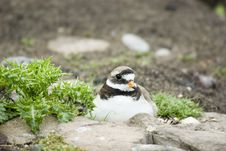 Free Ringed Plover On Nest Royalty Free Stock Image - 5739526