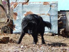 Free Black Dog. Stock Images - 57370984