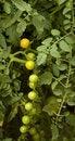 Free Cherry Tomatoes Royalty Free Stock Photos - 5740628