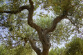 Free Olive Tree Stock Photos - 5744763