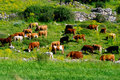 Free Grazing Cattle Stock Photo - 5745260