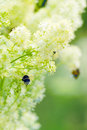 Free Bumblebees On A Yellow Flowers Royalty Free Stock Image - 5745716