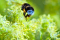 Free Bumblebee On A Yellow Flower Royalty Free Stock Images - 5745739