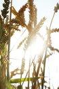 Free Wheat Field Royalty Free Stock Photos - 5747878