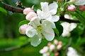 Free Apple Tree Blossom Royalty Free Stock Photo - 5748045