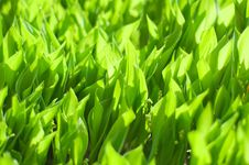 Free Lily Of The Valley Meadow Stock Photography - 5740272