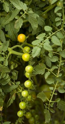 Free Cherry Tomatoes Royalty Free Stock Photos - 5740628