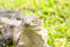Free Iguana Closeup Stock Images - 5740674