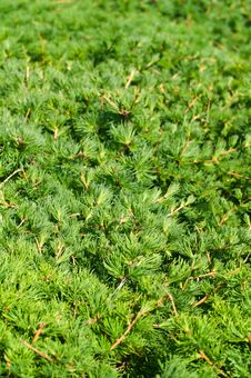 Free Juniper Sprouts Background Royalty Free Stock Image - 5740766