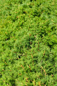 Free Juniper Sprouts Background Stock Image - 5740781