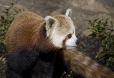 Free Red Panda Watching Stock Photo - 5740950
