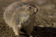 Free Prairie Dog Royalty Free Stock Photos - 5740958