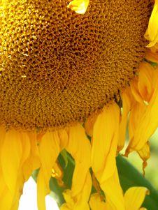 Free Sunflower Stock Image - 5741191