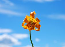 Free Lily And Blue Sky Royalty Free Stock Photography - 5741217
